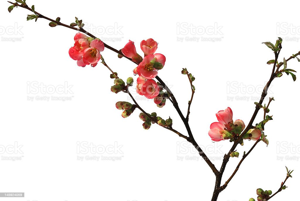 red flowering quince isolated on white royalty-free stock photo