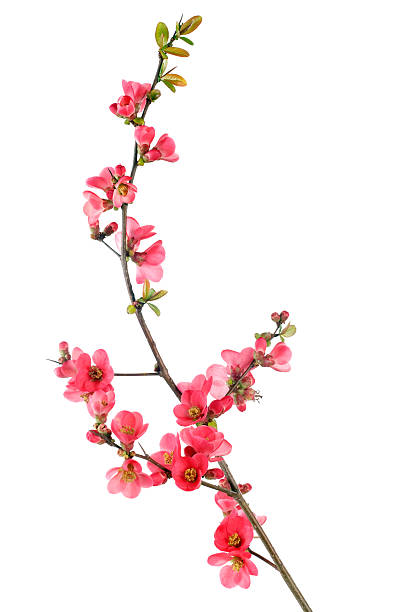 red flowering quince stock photo