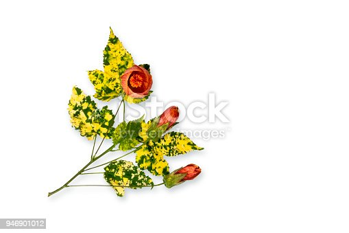 Red flowers, Abutilon Striatum - Red Veined Abutilon. Chinese Lantern Lilly. White background with clipping path
