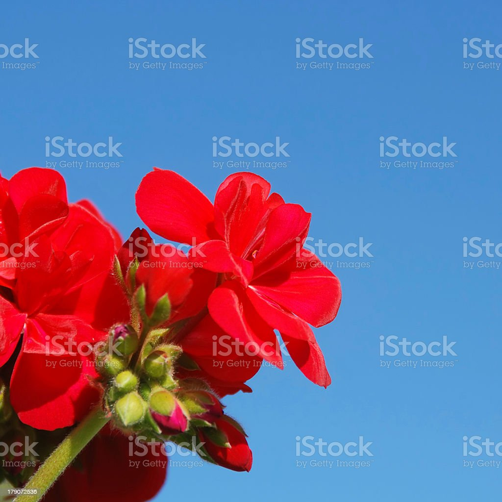 Red Flowers and Blue Sky stock photo
