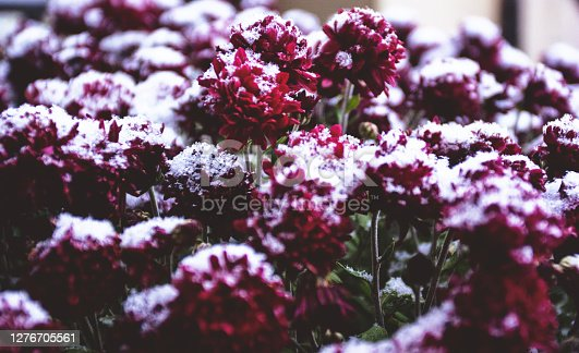 Red flowers covered in snow in late autumn.