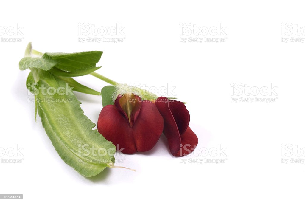 red flowers. bean royalty-free stock photo