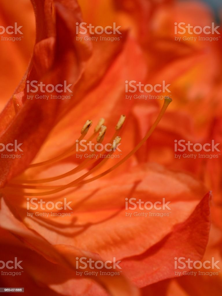 Red flowers blooming in the garden in spring. Blooming red purple azalea flowers royalty-free stock photo