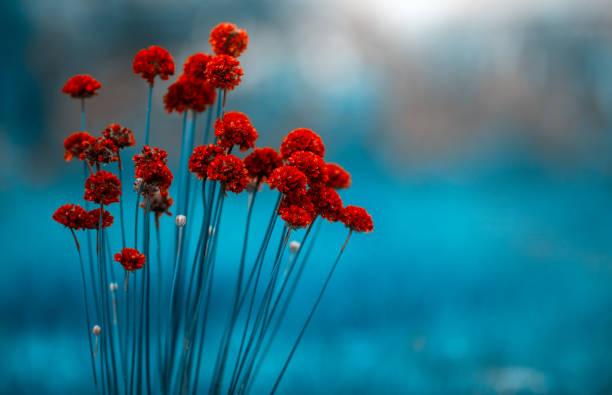 flores vermelhas por do sol - papoula planta - fotografias e filmes do acervo