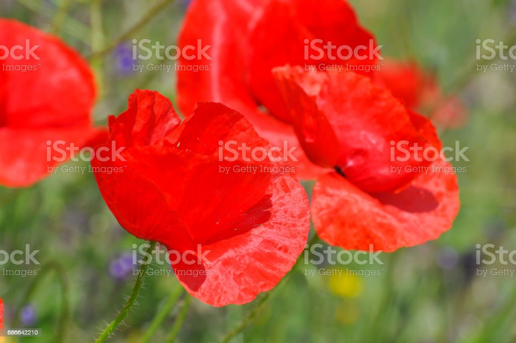 Red flowers of a Field Poppy (Papaver rhoeas) close up. royalty-free stock photo