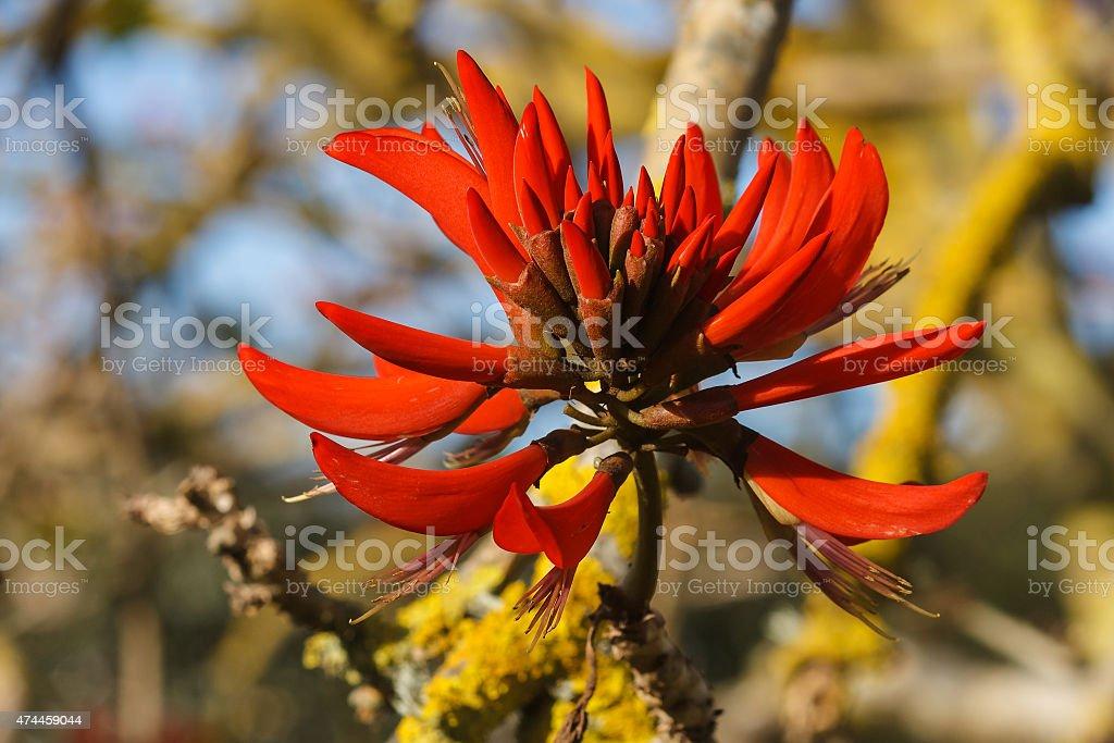 Photo de fleurs rouges autour darbre corail image libre de droit istock - Arbre fleurs rouges printemps ...