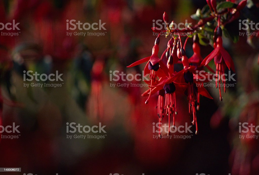 Red Flowers of Fuschia Magellan stock photo