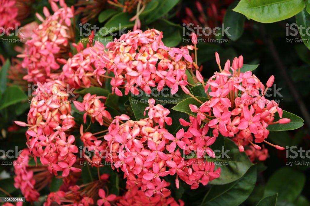 Red flowers of Ixora coccinea at Sunshine Coast, Queensland Australia stock photo