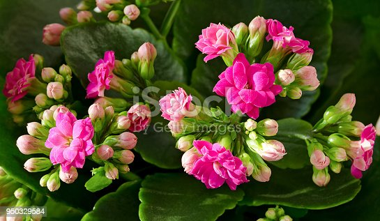 image of indoor plant red flowers Kalanchoe potted closeup