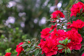 red flowers of rhododendron,  Growing azaleas in the garden.