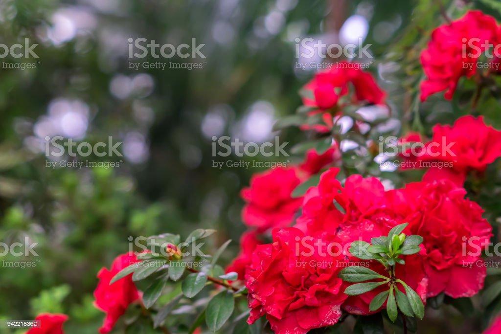 Rote Blumen von Rhododendron, Azaleen wachsen im Garten. – Foto