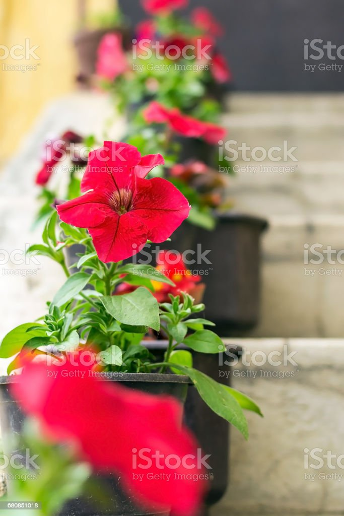 Red flowers on balcony stairs royalty-free stock photo