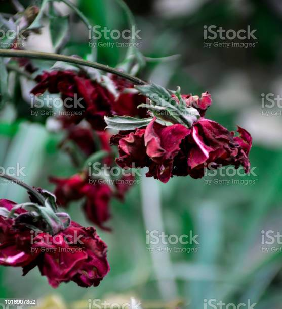 Red flowers picture id1016907352?b=1&k=6&m=1016907352&s=612x612&h=vp8xjiofr4fm k94awjdpt eomlrnfdsqrztkedxnsm=