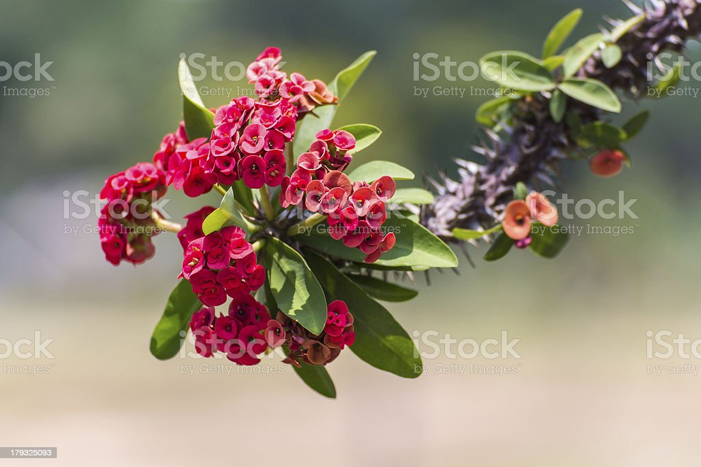 Red flowers Poi Sian royalty-free stock photo