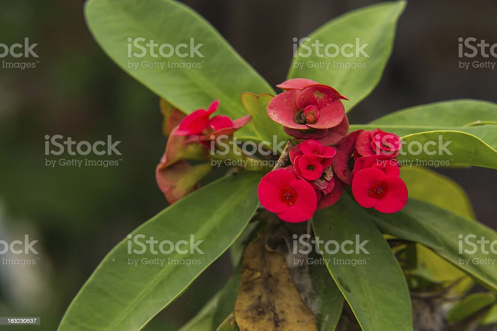 Red flowers Poi Sian stock photo