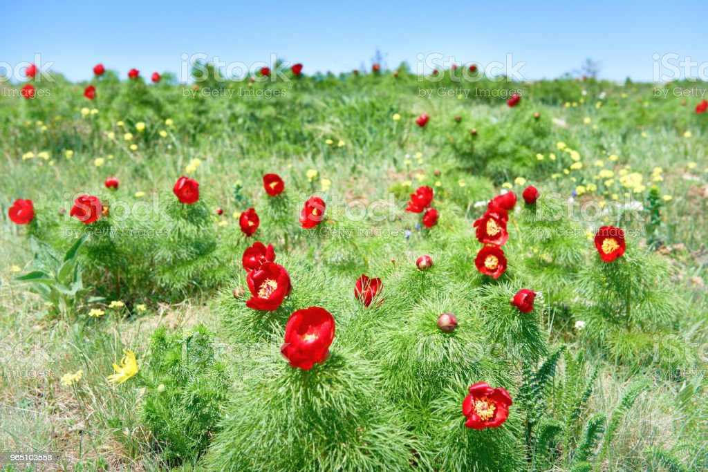 Red flowers poppies on field zbiór zdjęć royalty-free