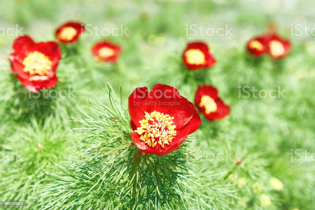 Red flowers poppies on field royalty-free stock photo