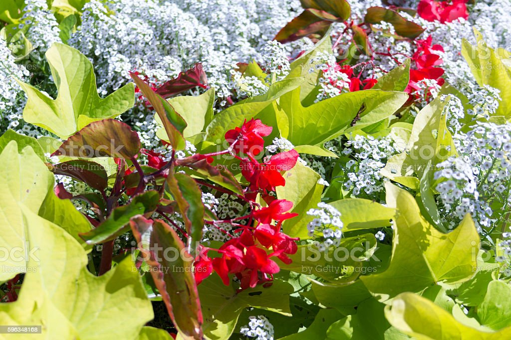 Red flowers with big leafs and little white flowers royalty-free stock photo