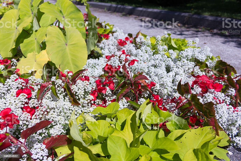 Red flowers with big leaves and little white flowers royalty-free stock photo