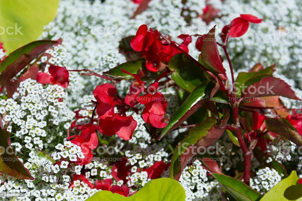 Red flowers with big leaves and little white flowers stock photo red flowers with big leaves and little white flowers royalty free stock photo mightylinksfo