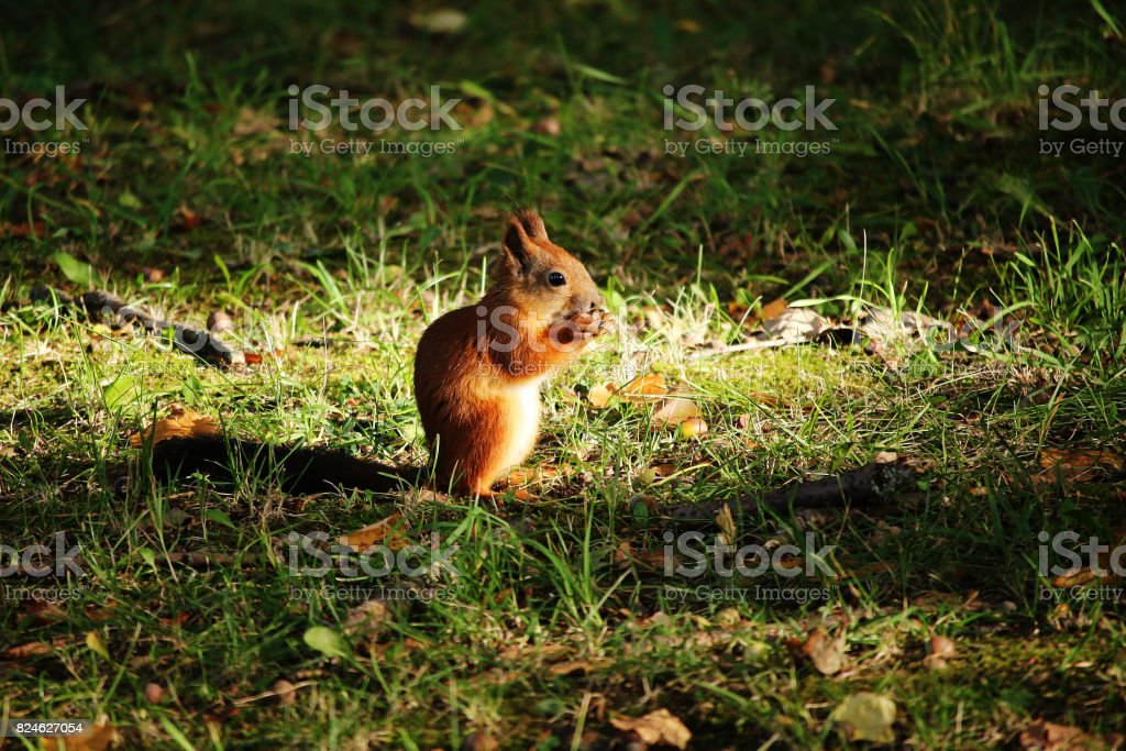 Red fluffy squirrel eating in the grass nut stock photo