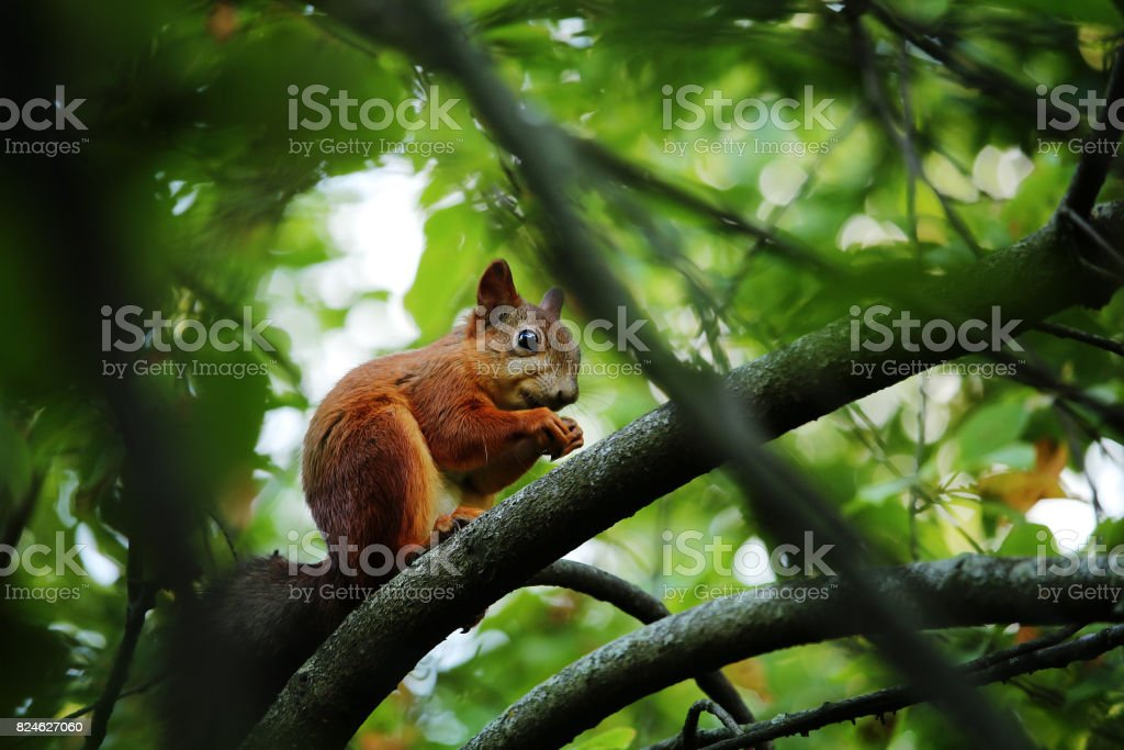 Red fluffy squirrel on a tree stock photo