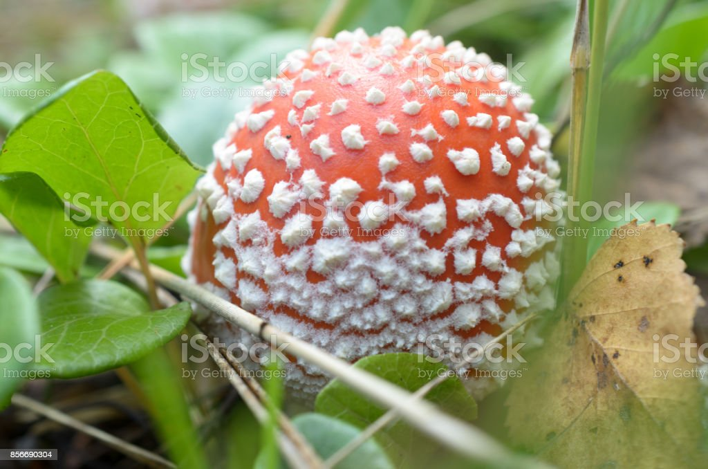 Red fly agarics with white spots in the forest. stock photo
