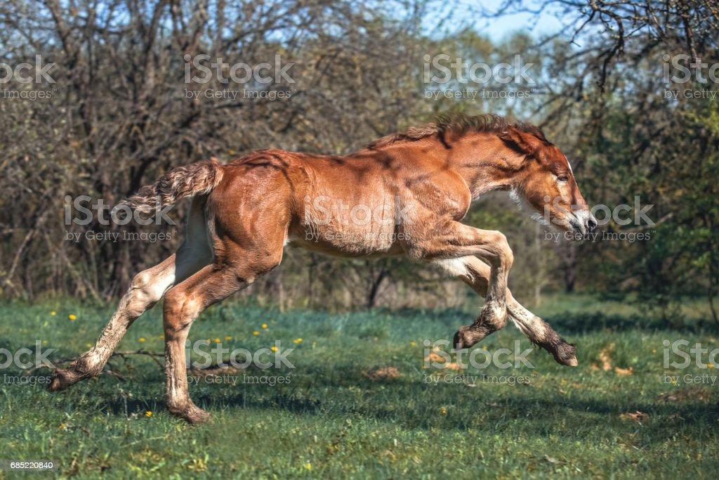 Red foal runs through the spring garden foto de stock royalty-free