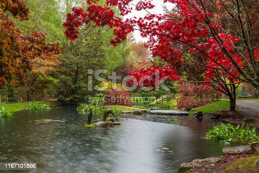 Scarlet red Japanese Maple over the waterlilly pond at Gibbs Gardens in Georgia in the fall.