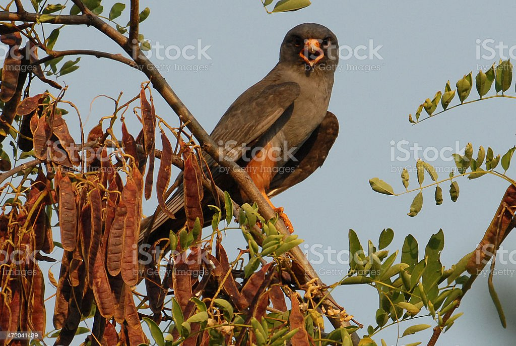 Red Footed Falcon stock photo