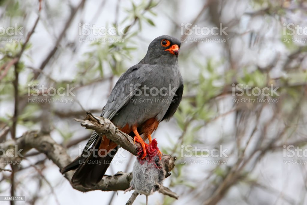 Red footed falcone with a prey sits on the branch stock photo
