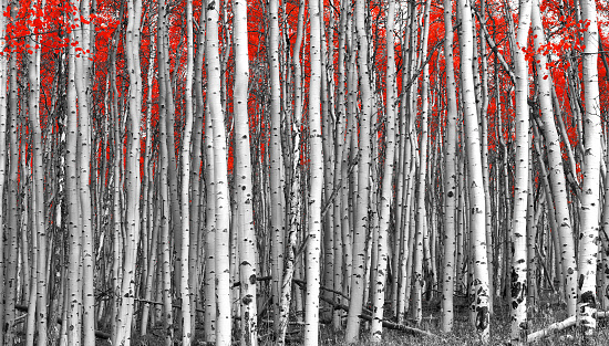 istock Red Forest Black and White Landscape 531790840