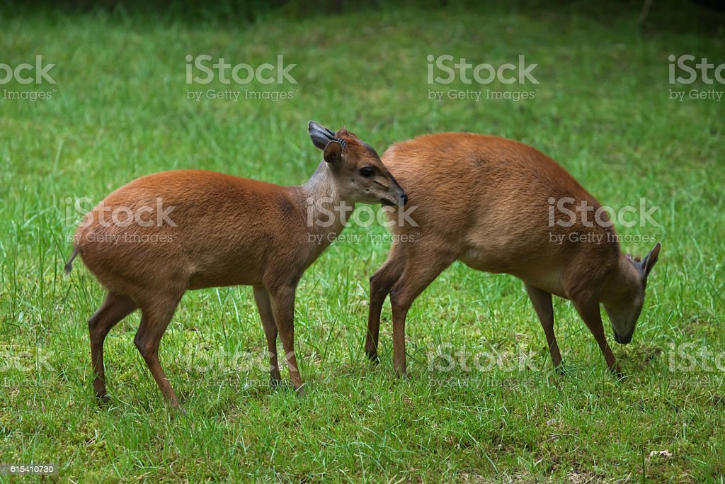 Red forest duiker (Cephalophus natalensis). stock photo