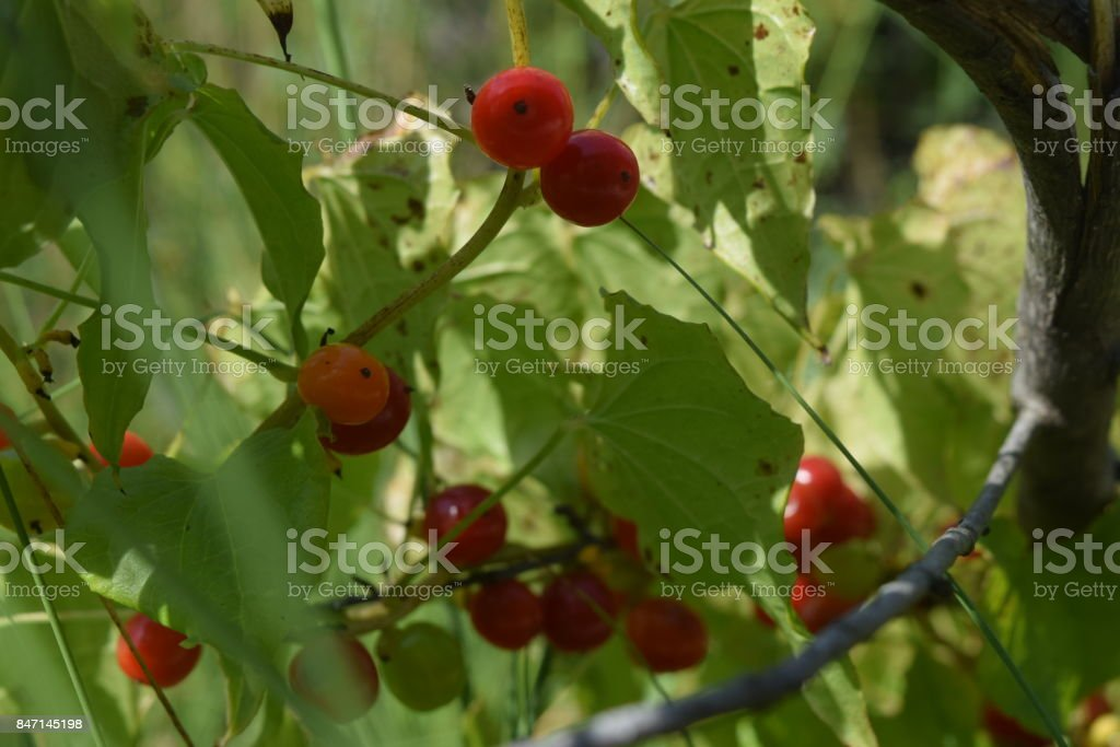 Red Forest Fruit stock photo