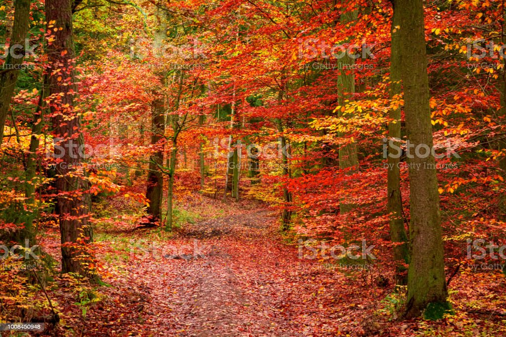 Red forest in the autumn in Europe stock photo