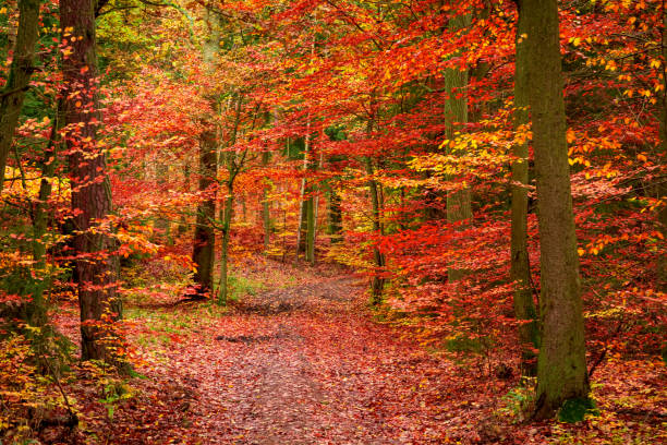 Red forest in the autumn in Europe Red forest in the autumn in Europe autumn leaf color stock pictures, royalty-free photos & images
