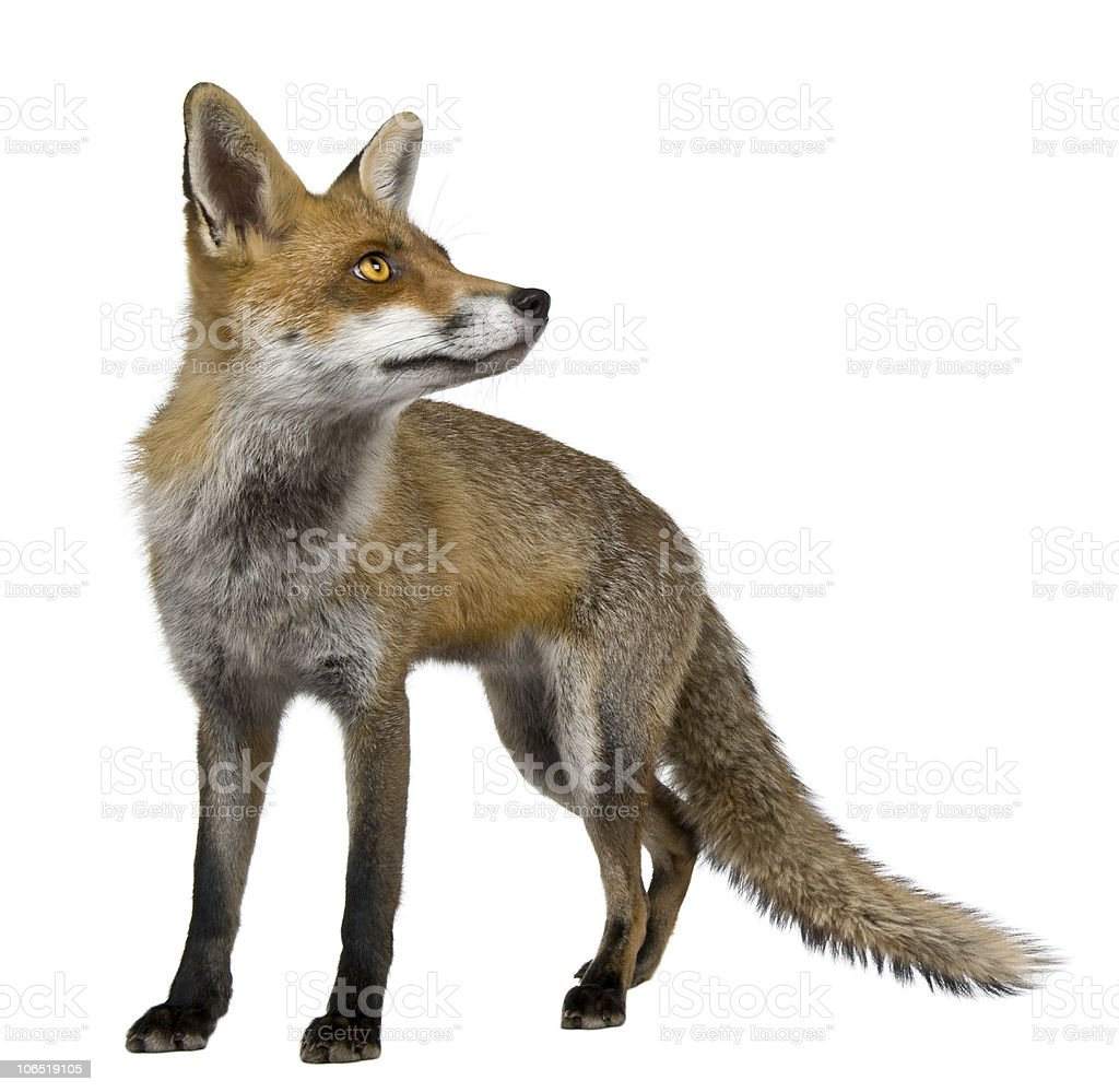 red fox 1 year old standing and looking up stock photo 106519105