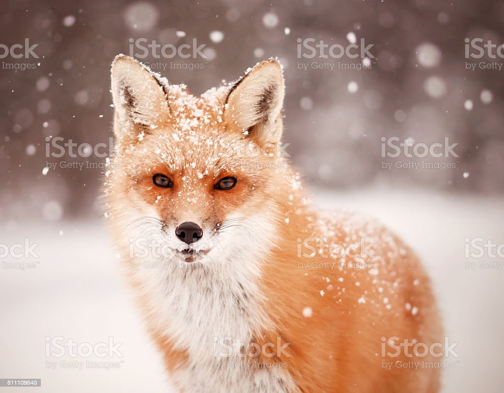 Vermelho raposa e queda de neve - foto de acervo