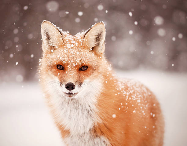 red fox and falling snow - fox stock photos and pictures