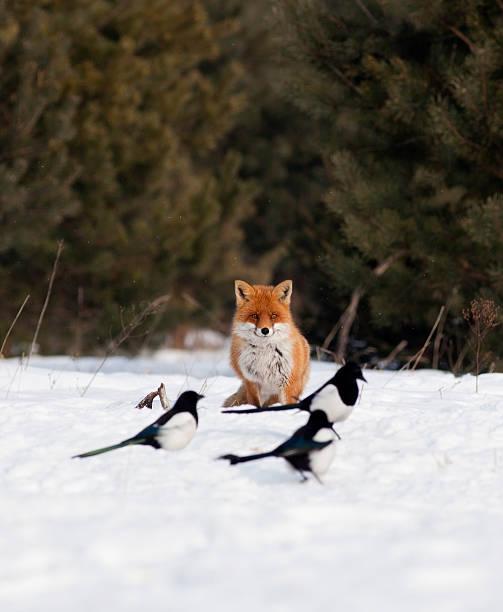 Red fox und magpies – Foto