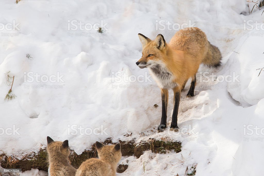 Red fox and pups royalty-free stock photo