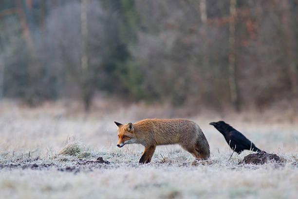 Red fox und Raben dar. – Foto