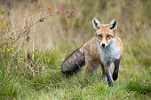 istock Red fox approaching on meadow in autumn nature. 1281242006