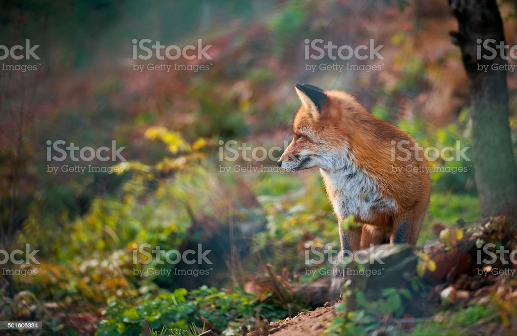 red fox at the zoo stock photo