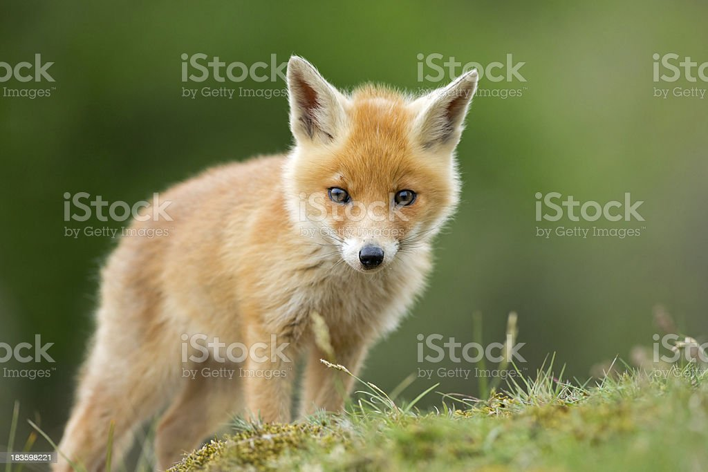 Red fox cub standing on grassy knoll stock photo