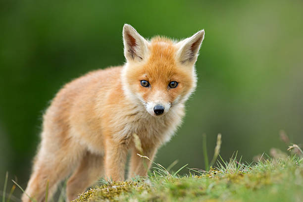red fox cub standing on grassy knoll - fox stock photos and pictures