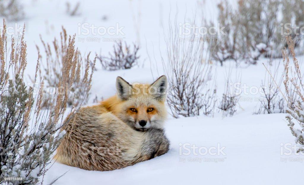 Rotfuchs eingerollt im Schnee starren – Foto