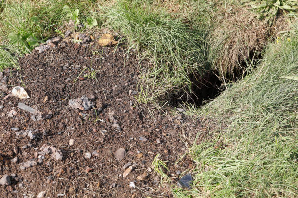 red fox den dug in cemetery - whiteway fox stock photos and pictures