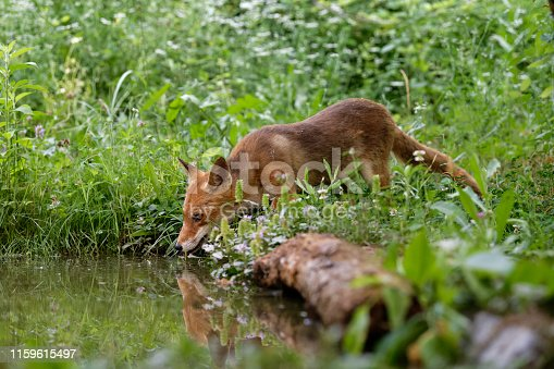 Red fox drinking (Vulpes vulpes)
