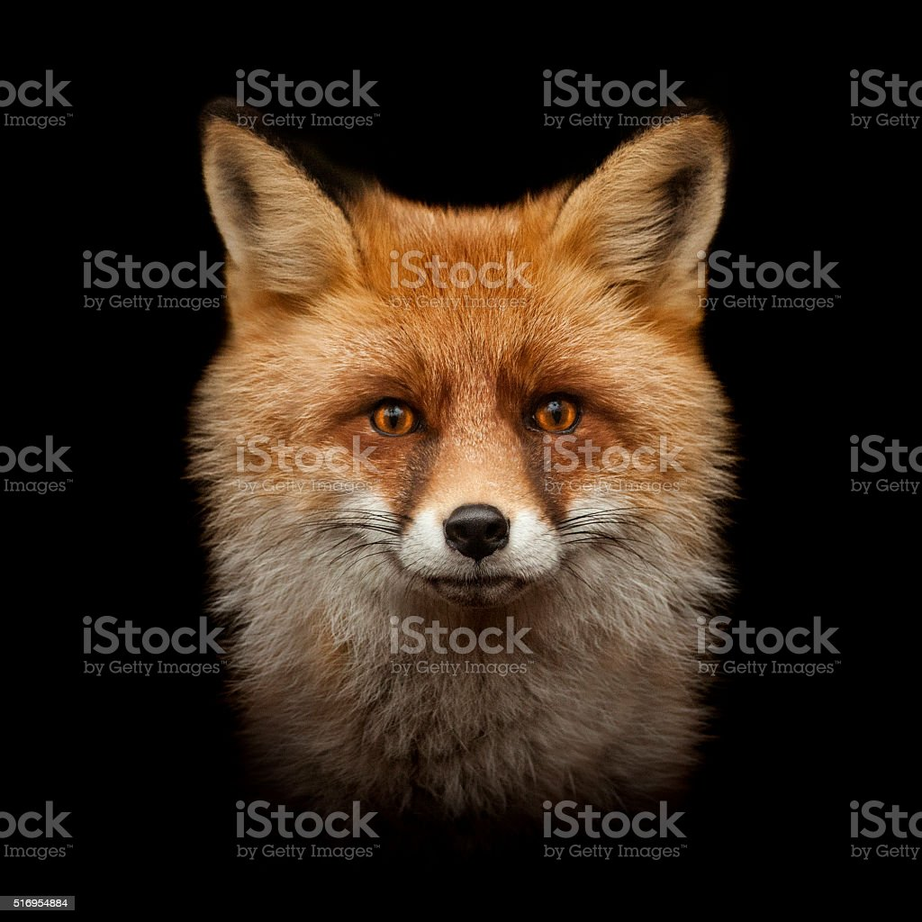 vermelho raposa rosto isolado no preto - foto de acervo